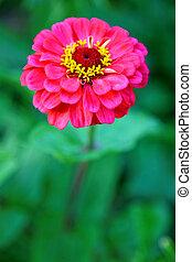 gyönyörű, rózsaszínű virág, zöld háttér
