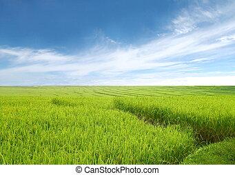 gyönyörű, rizs terep, blue, ég
