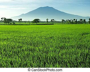 gyönyörű, rizs terep