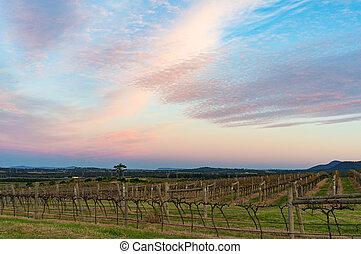 gyönyörű, szőlőskert, táj, -ban, napnyugta