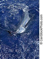 gyönyörű, tényleges, billfish, marlin, halászat, fehér, sport