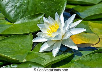 gyönyörű, tavirózsa, tó