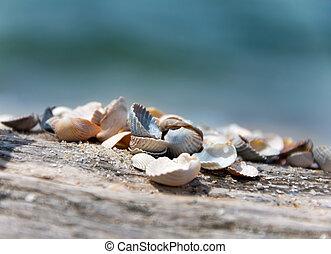 gyönyörű, tengeri kagylók