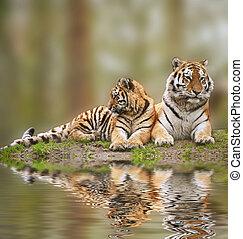 gyönyörű, tigress, füves, bágyasztó, kölyök, víz, hegy,...