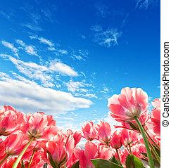 gyönyörű, tulipánok, németalföld, mező