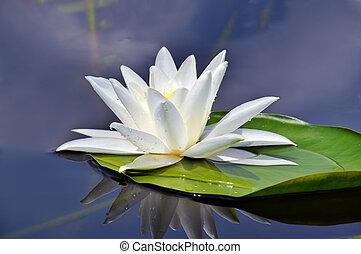 gyönyörű, waterlily, tó