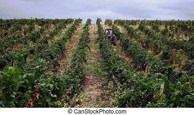 gyűjt, szőlő, traktor, emberek