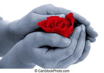 gyermek, birtok, rózsa, virág, alatt, tovább ad, white háttér