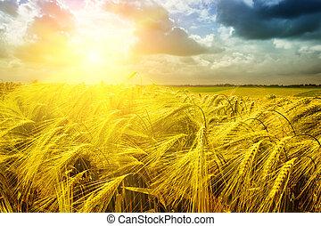 gylden, hen, hvede, solnedgang felt