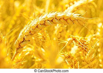 gylden, hvede