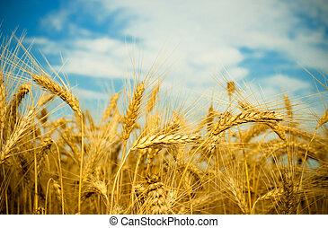 gylden, hvede felt