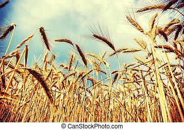 gylden, hvede, sommer, solfyldt, felt, dag
