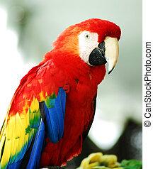 gylden, macaw, fugl, rød