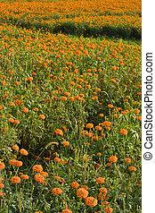 gylden, marigold, (3), felter