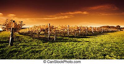 gylden, vingård, solnedgang