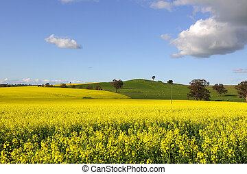 gyllene, blomning, canola, vår