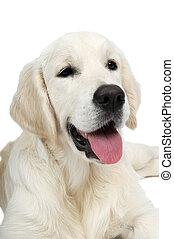 gyllene, purebread, retriever, hund