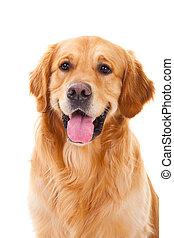 gyllene, sittande, hund, isolerat, vit, retriever