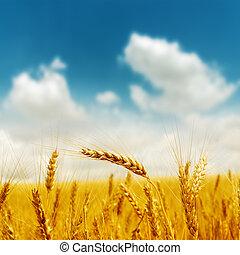 gyllene, skörd, under, blå, mulen himmel