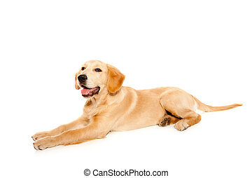 gyllene, valp, hund, retriever, purebred