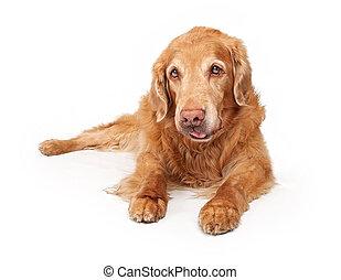 gyllene, vit, retriever, hund, isolerat