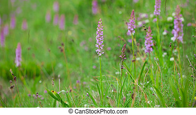 Gymnadenia conopsea, the fragrant orchid on a meadow.