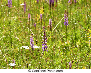 Gymnadenia orchids on a meadow in Germany