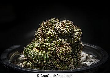 gymnocalycium, mihanovichii, variegata, cristata