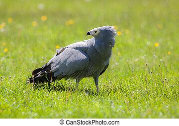 Gymnogene bird of prey on sunlit grass. African harrier-hawk...
