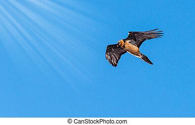 Gypaetus barbatus. Gran Paradiso National Park, italian Alps...