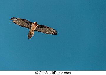GYPAETUS BARBATUS - Gypaetus barbatus in the blue sky