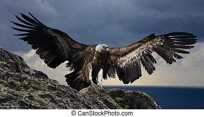 gyps flying mountains - big gyps carnivore bird with opened ...
