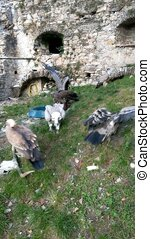Gyps, Ruppell's Vulture, Lappet Faced Vulture, Group eating on Carcass