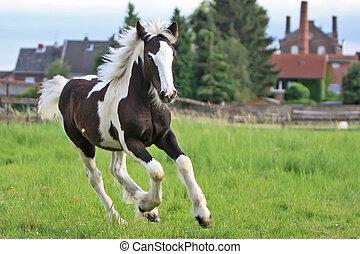 gypsy foal - foal running
