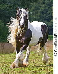 gypsy horse - gypsy running