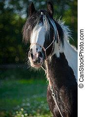 Gypsy horse in summer