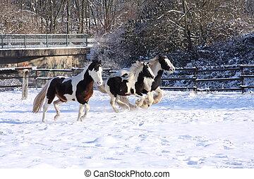 Gypsy horses in snow