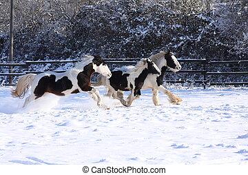 Gypsy horses in snow II