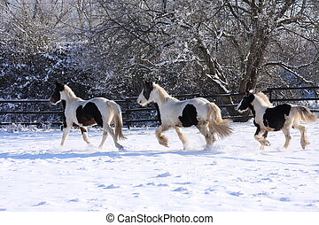 Gypsy horses in winter