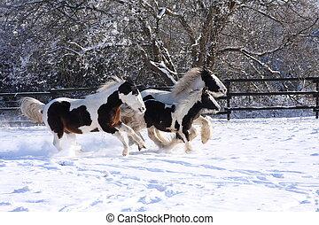 Gypsy horses running - gypsy horses running in snow