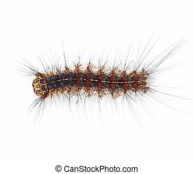 Gypsy moth caterpillar (Lymantria Dispar) isolated on white...