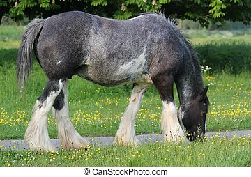 Gypsy vanner mare - This mare was in a common near Hemel ...