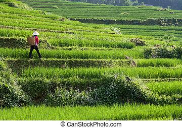 hántolatlan rizs, rizs, vietnam, farmer