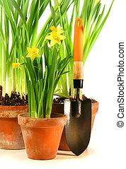 három, cserépáru, közül, nárciszok, noha, kert, lapát