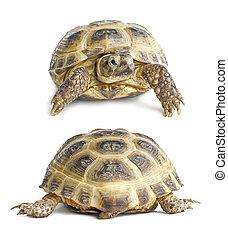 hát, |, arc, teknősbéka, elszigetelt