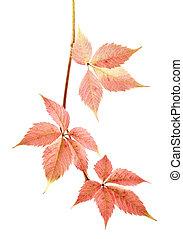 háttér, zöld, elszigetelt, sárga, ősz, szőlő, white piros