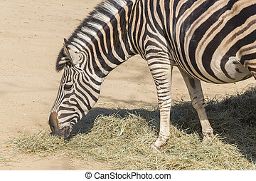 házaló árus, zebra, étkezési, fű, equus burchelli, chapmani