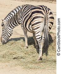 házaló árus, zebra, étkezési, fű