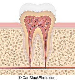 hälsosam, detaljerad, vit tand, anatomi