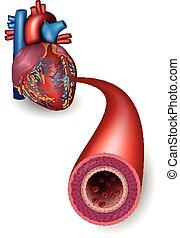 hälsosam, pulsåder, anatomi, hjärta